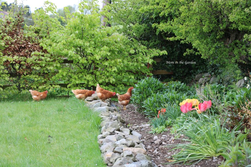 Chickens in the ditch wall garden April 26