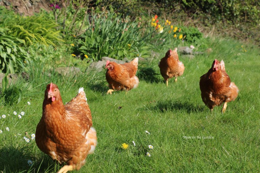Chickens in the yard following me April 9