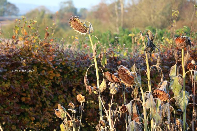 Dead sunflowers with Goldfinch Oct 2019