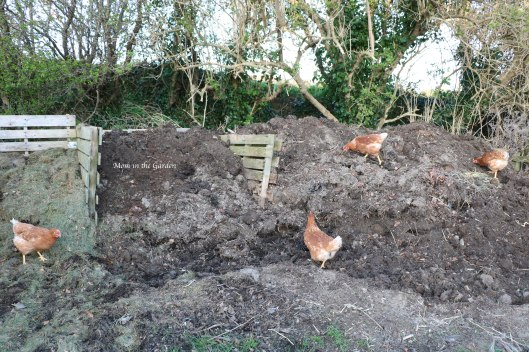 four chickens on the compost heap March 31