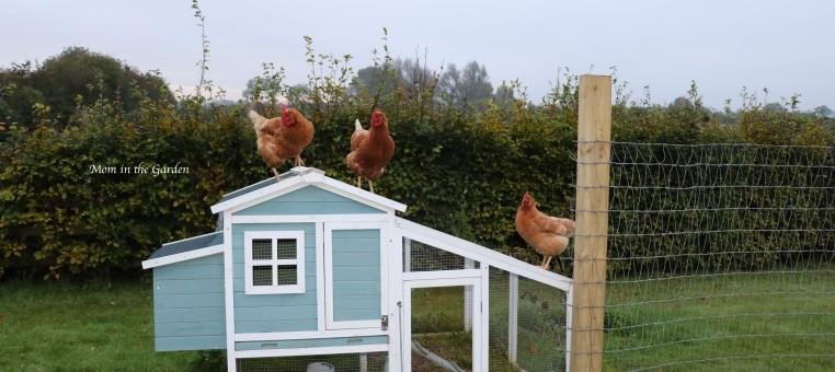 three Chickens on roof