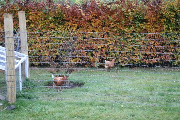 two chickens Oct 31 in run