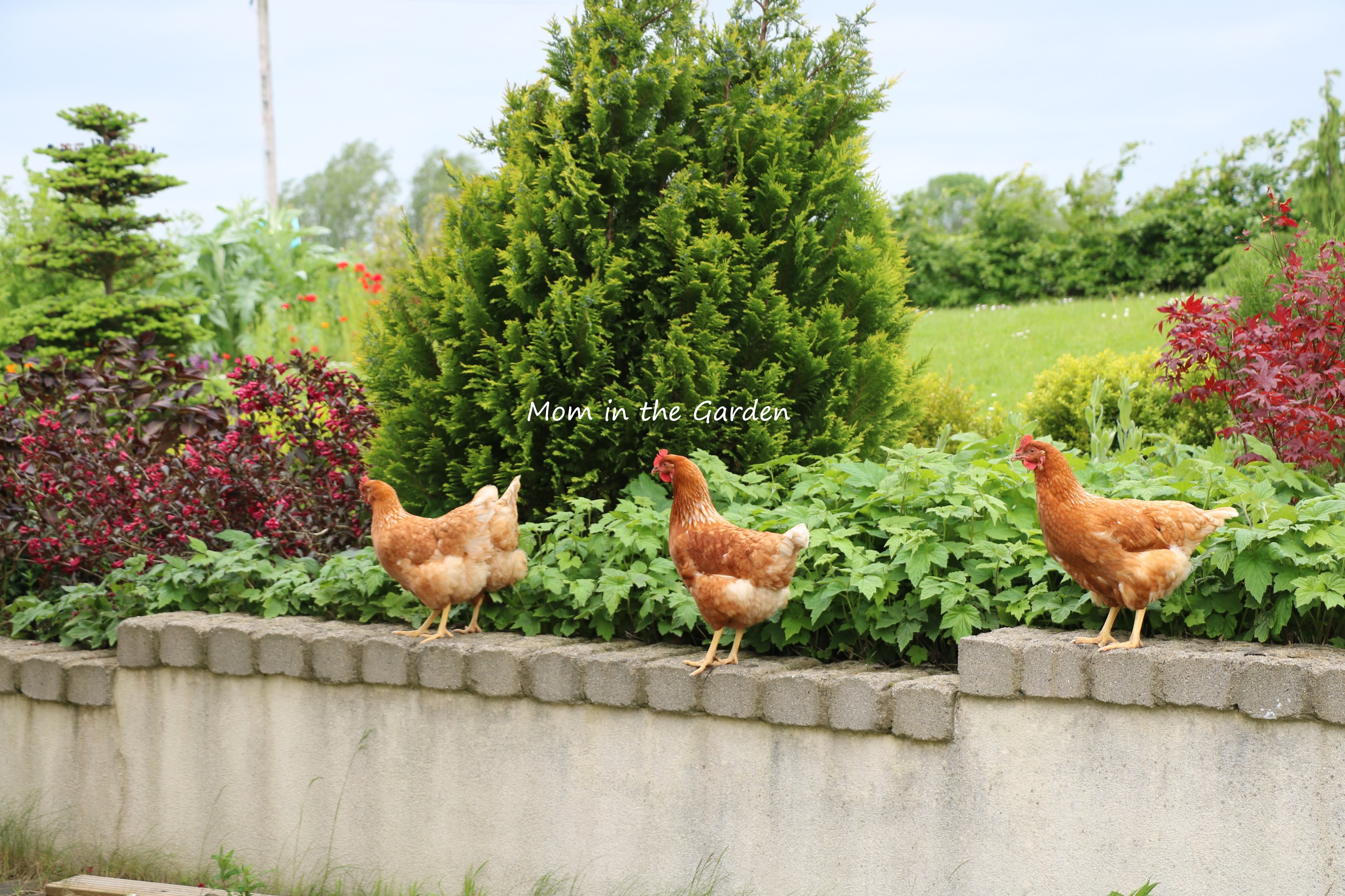 4 chickens in Japanese Maple garden