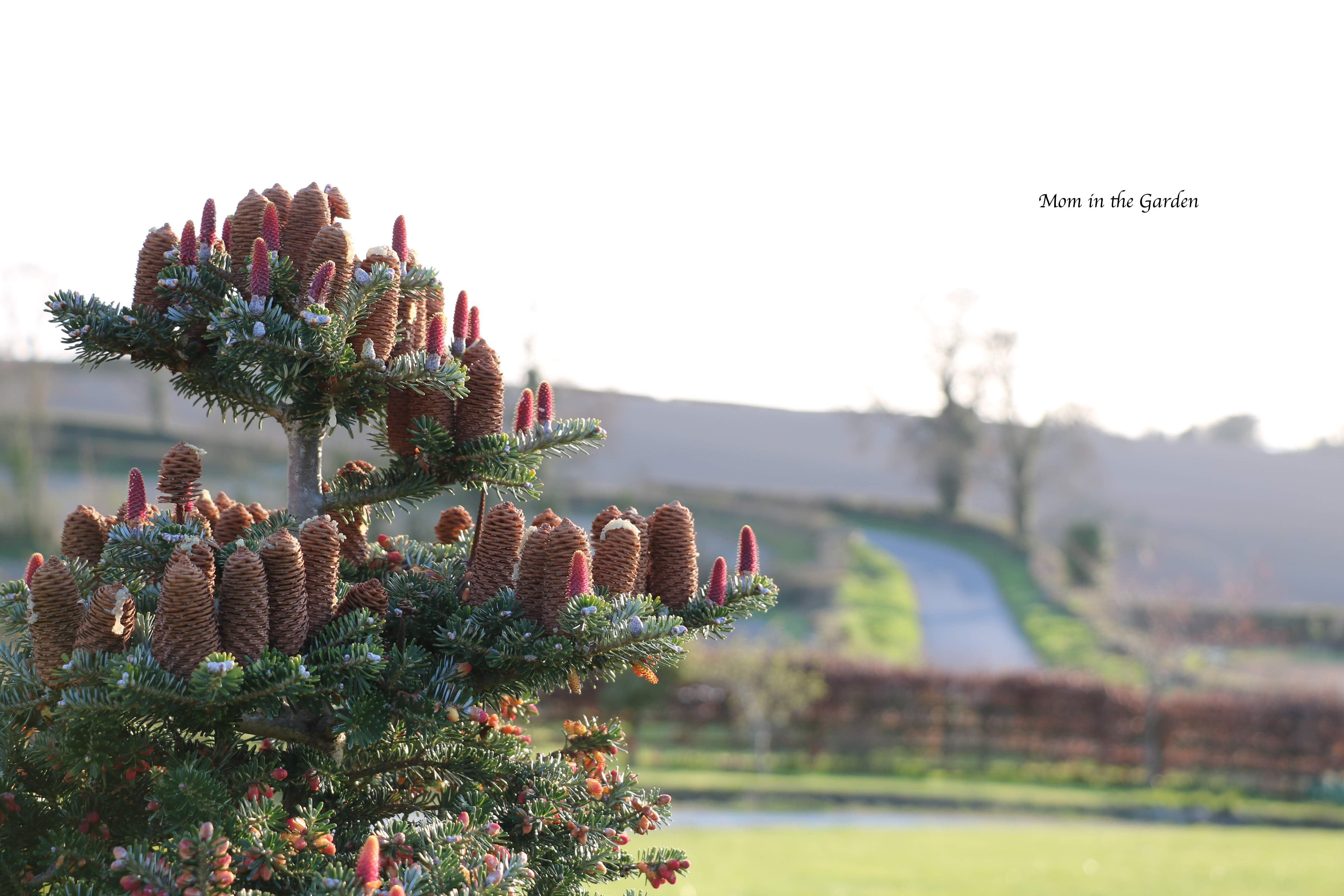 Abies Koreana + pine cones March 31st
