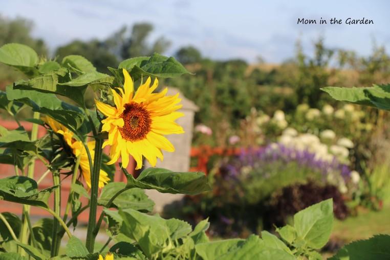 August View of Garden Sunflowers + hydrangea