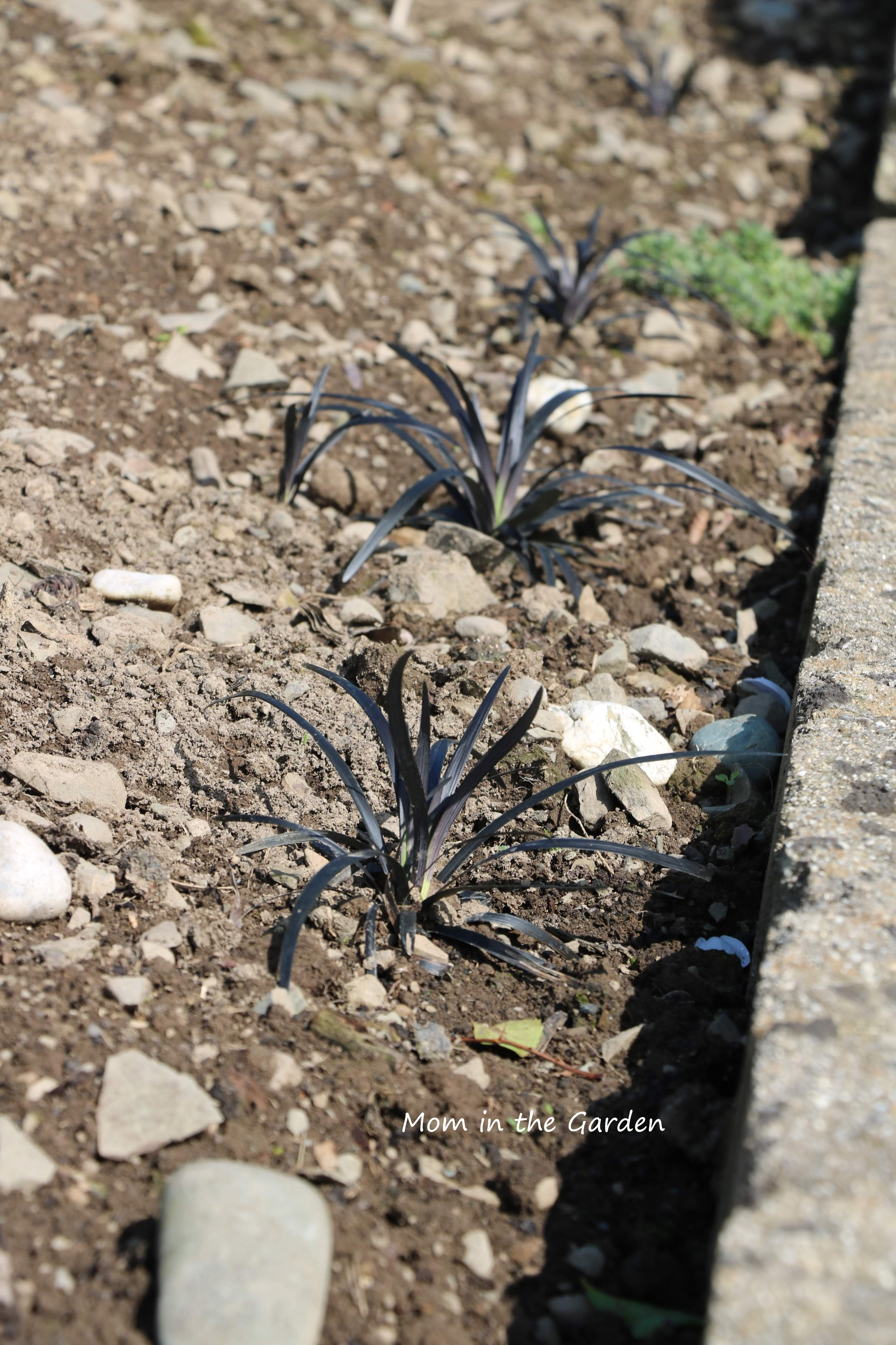 Black ornamental Grass in August