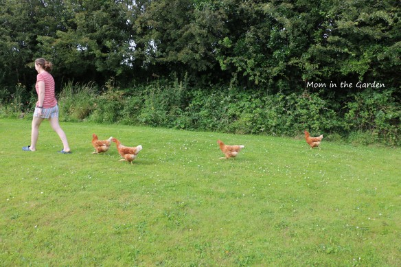 Chickens following Emer