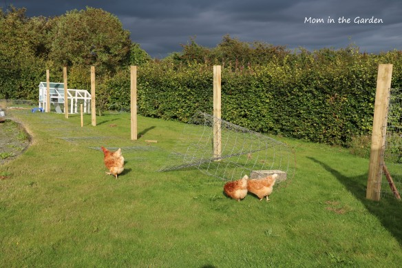 Chickens outside run in September