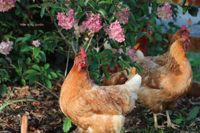 Chickens + pink hydrangea