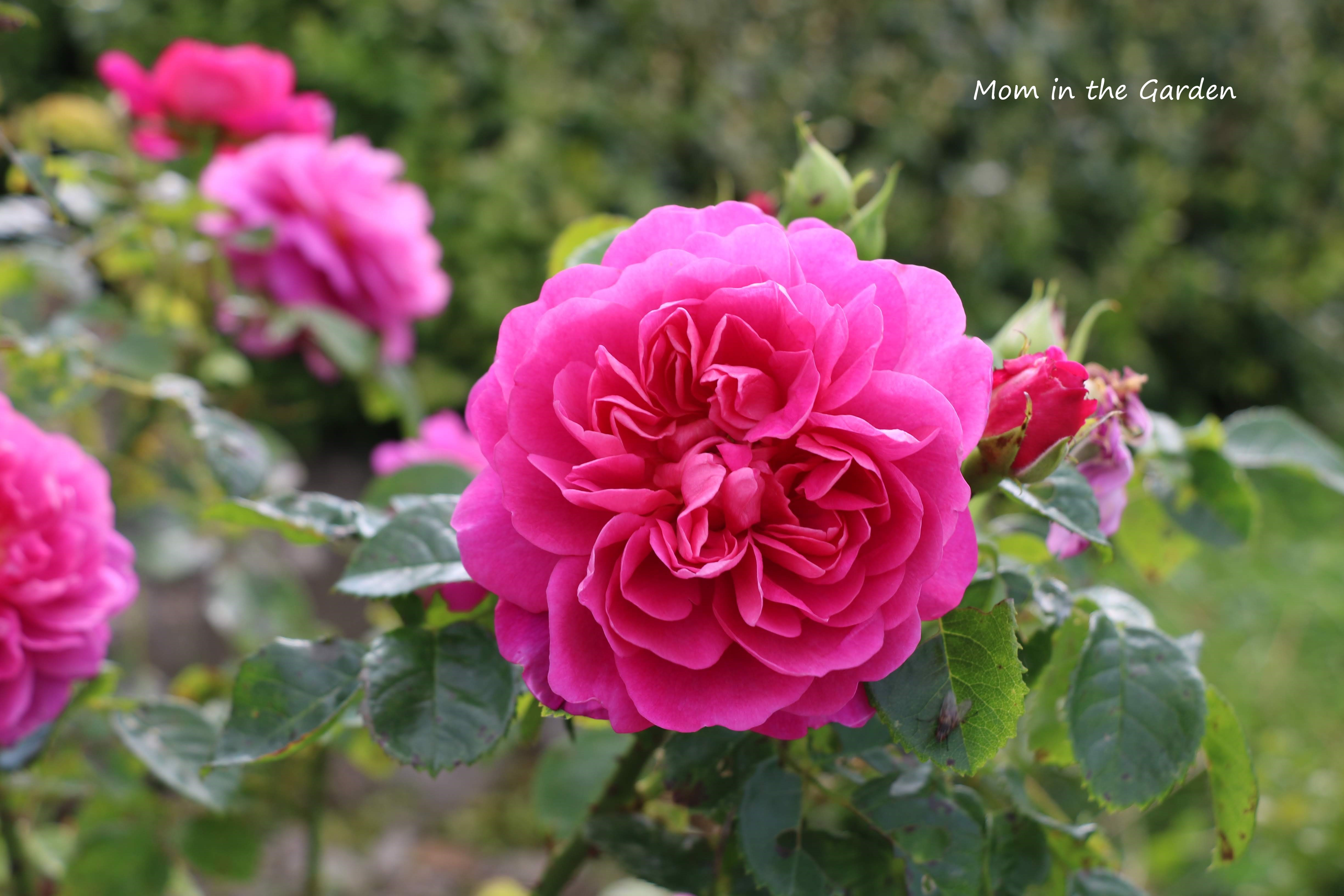 Deep pink David Austin Roses in September