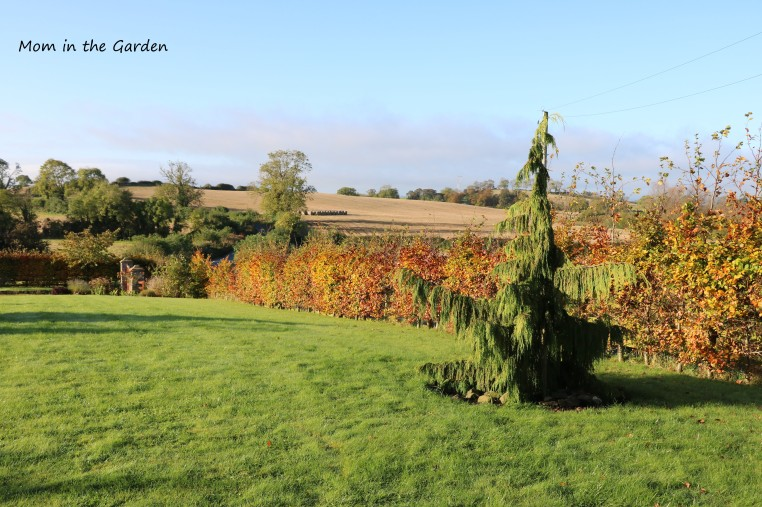 The first evergreen tree which we planted: Chamaecyparis nootkatensis 'Pendula' (Nootka Cypress)