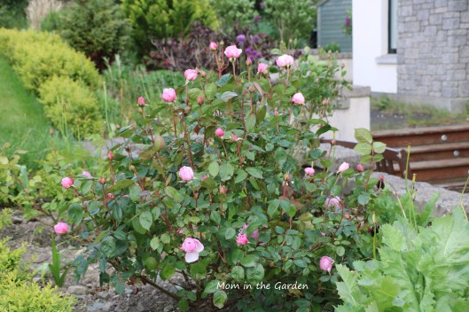 Full rose plant in June