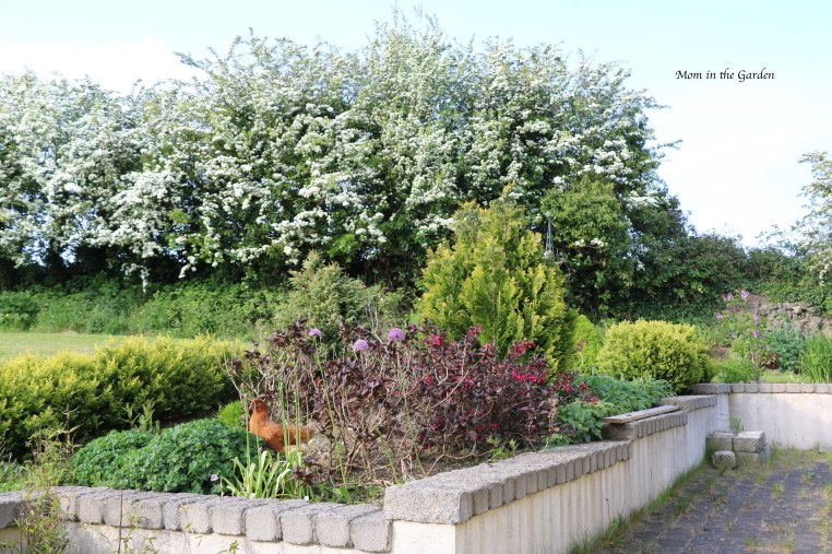 Hawthorn trees in May