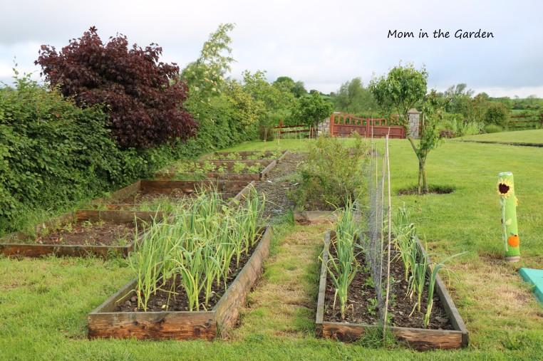 June view of the veggie garden