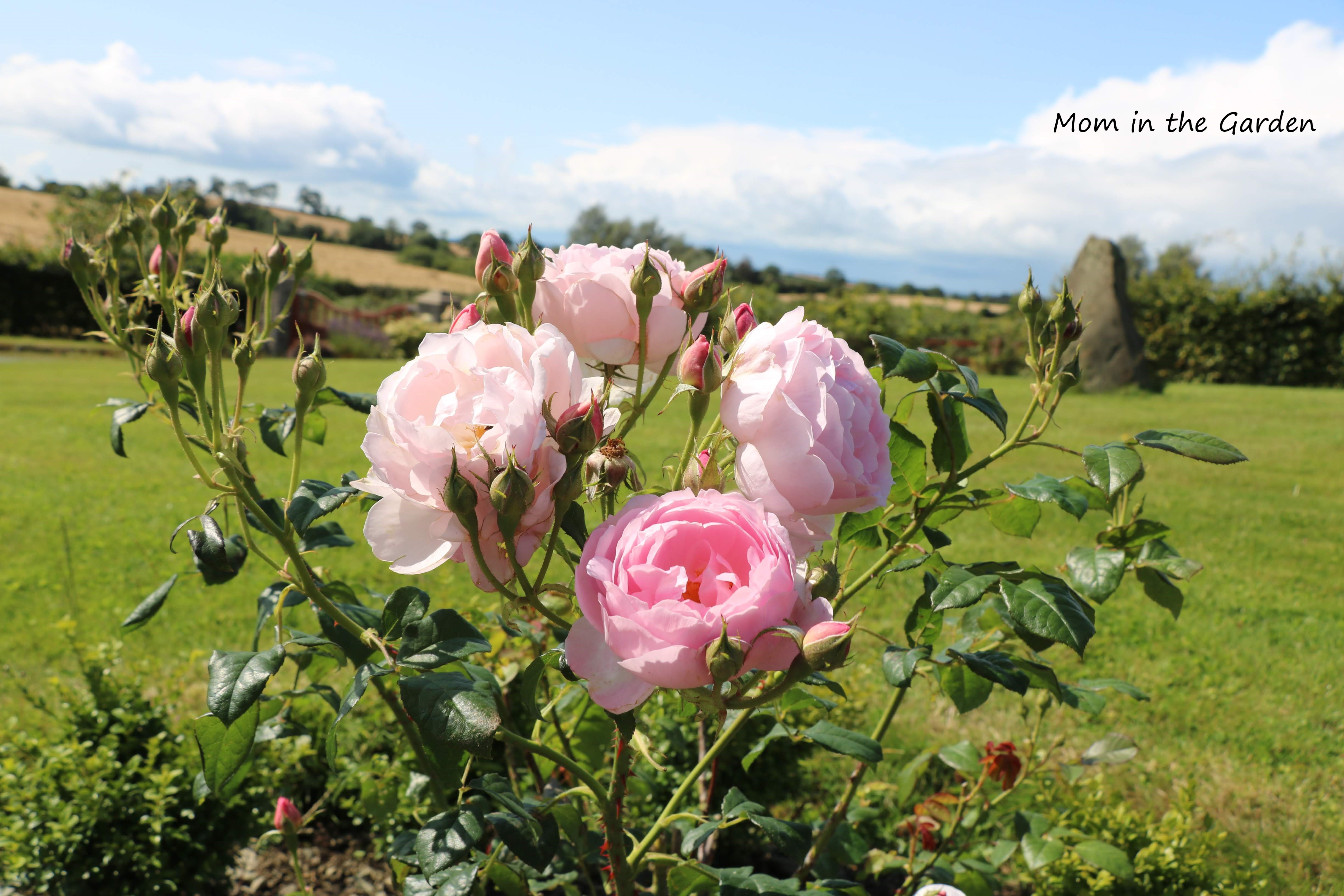 Light Pink David Austin Roses in August