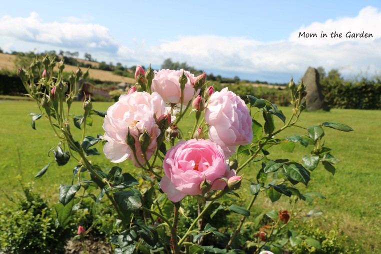 Light Pink David Austin Roses in August