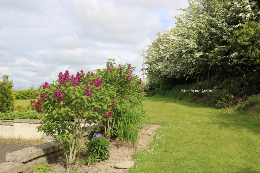 Lilacs + Hawthorn May