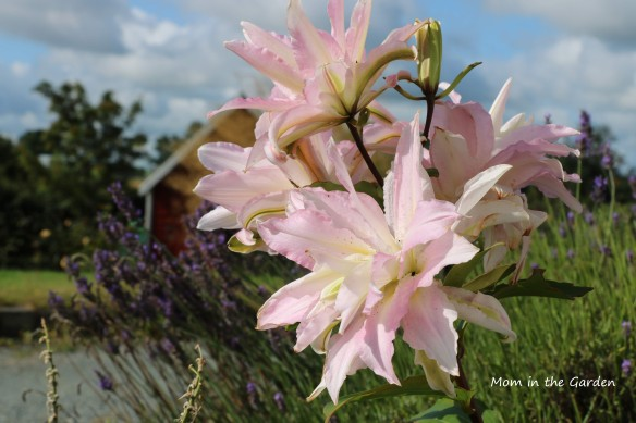 Lilies in August