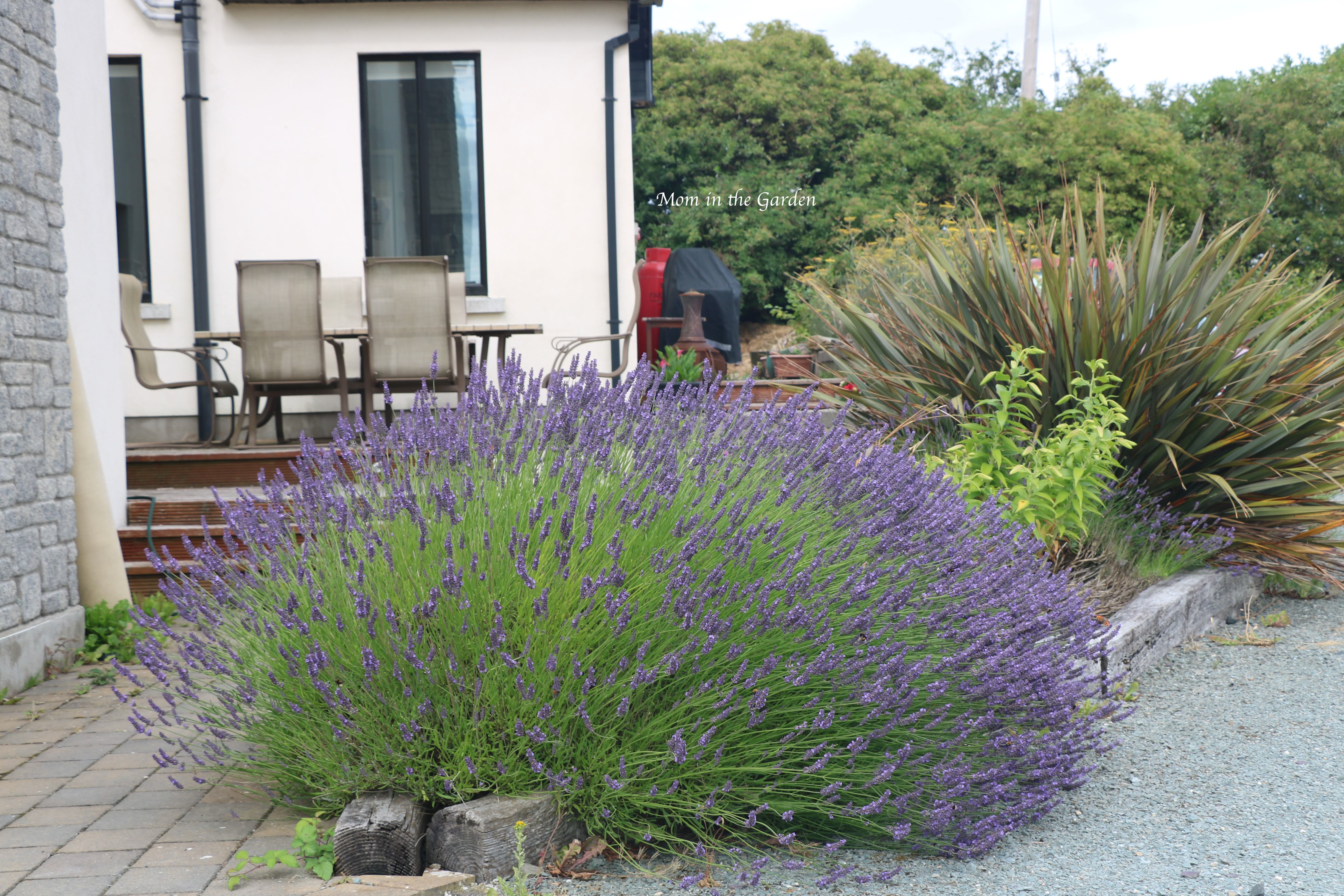 Mature lavender + mystery plant