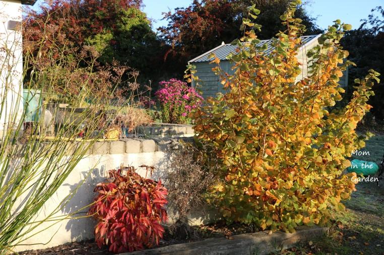 October Garden Hazelnut tree