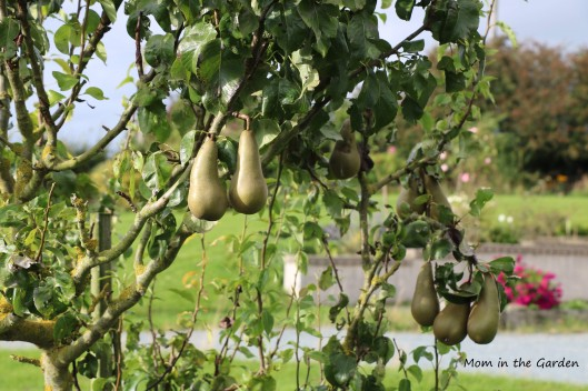 Pears in September