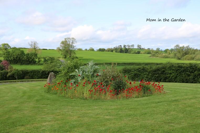 Poppy garden June