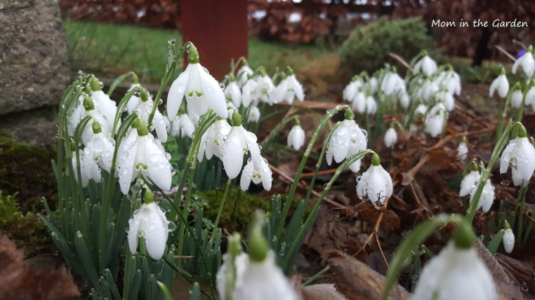 Snowdrops in January