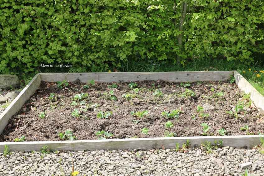 Strawberry Plants May 2