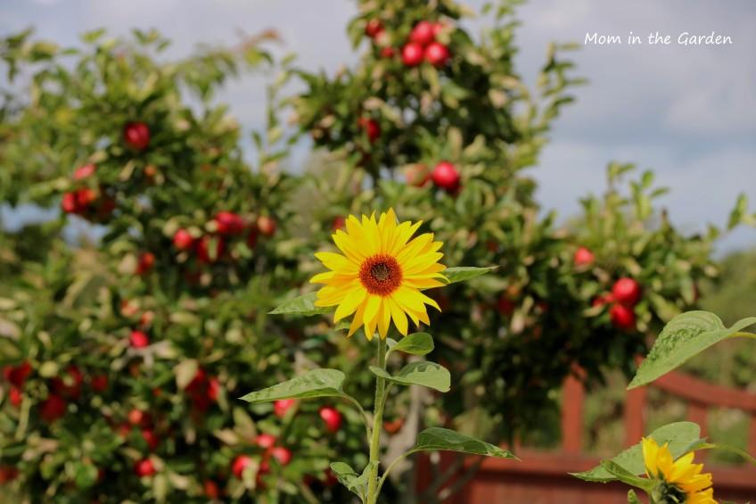 Sunflower + Apple tree in August