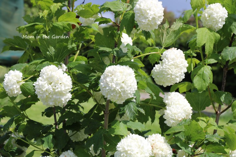 Viburnum June