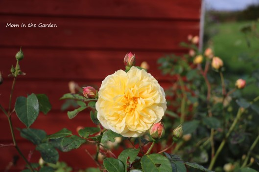 Yellow David Austin Roses in September