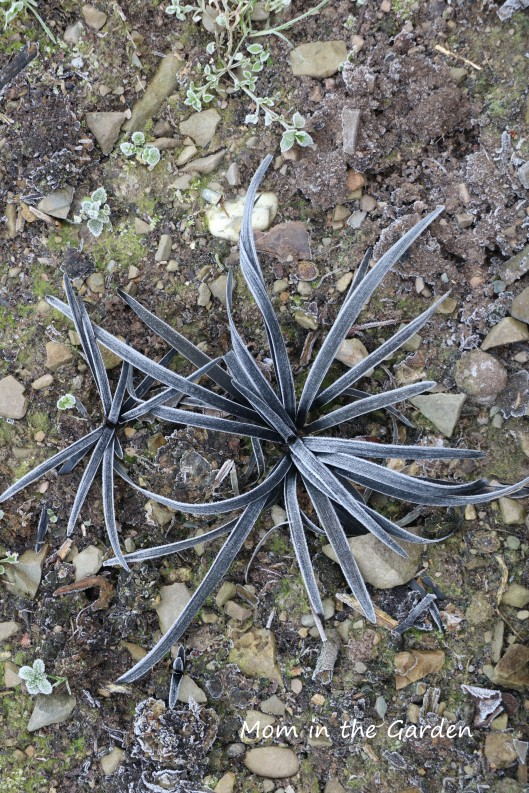 Black spider plants