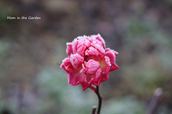 Frozen rose