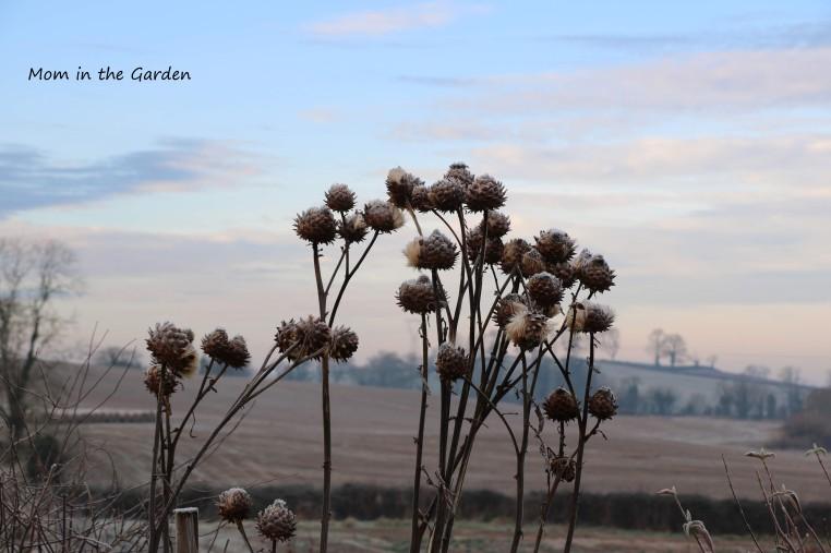 Globe Artichokes January
