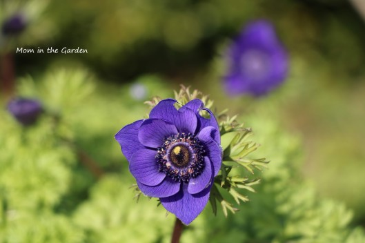 anemone mr fokker
