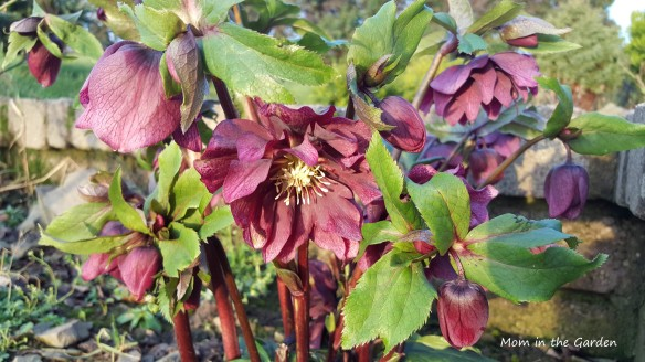 Double Ellen Red Hellebore