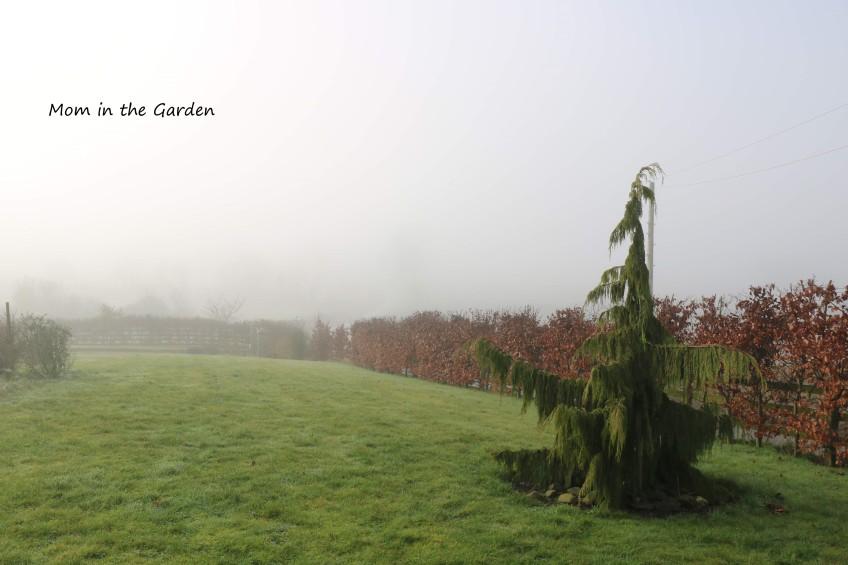 Nootka Cypress tree in fog