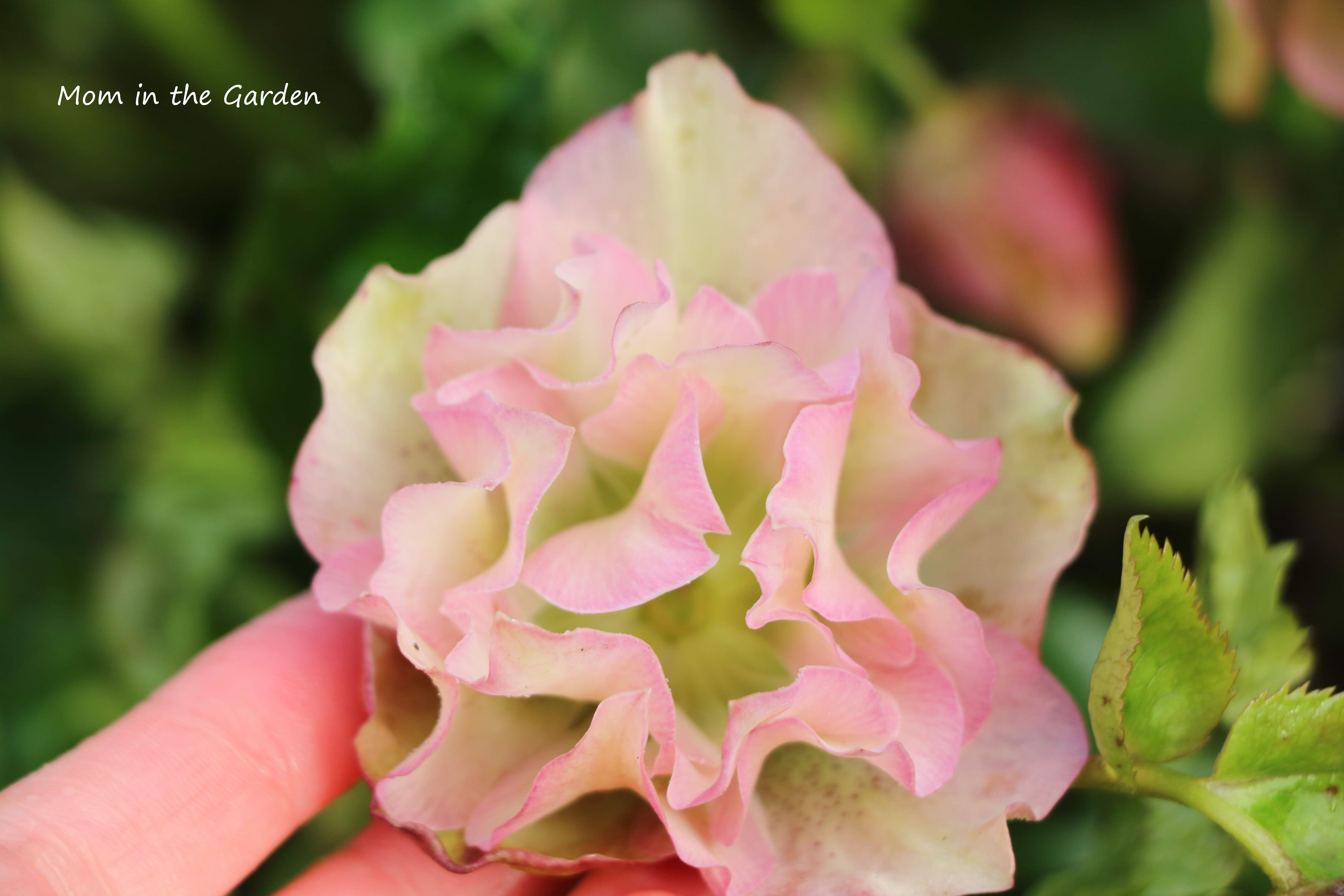 Frilly Isabelle Hellebore