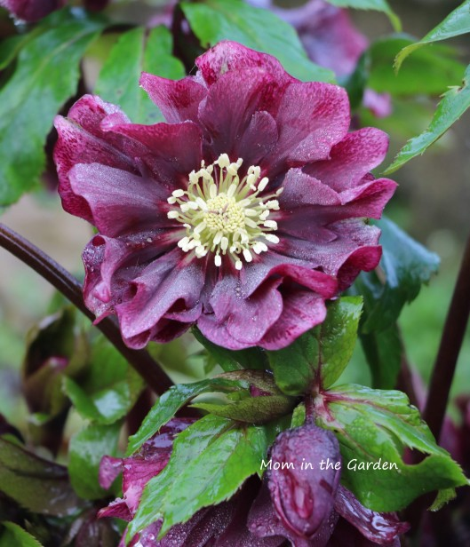 Hellebore Double Ellen Red up close