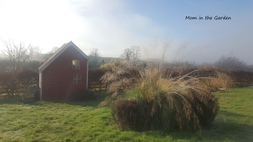 Ornamental Grass sunny