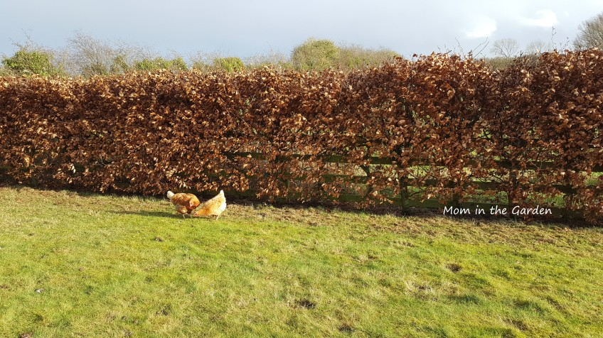 two chickens in front of beech hedge