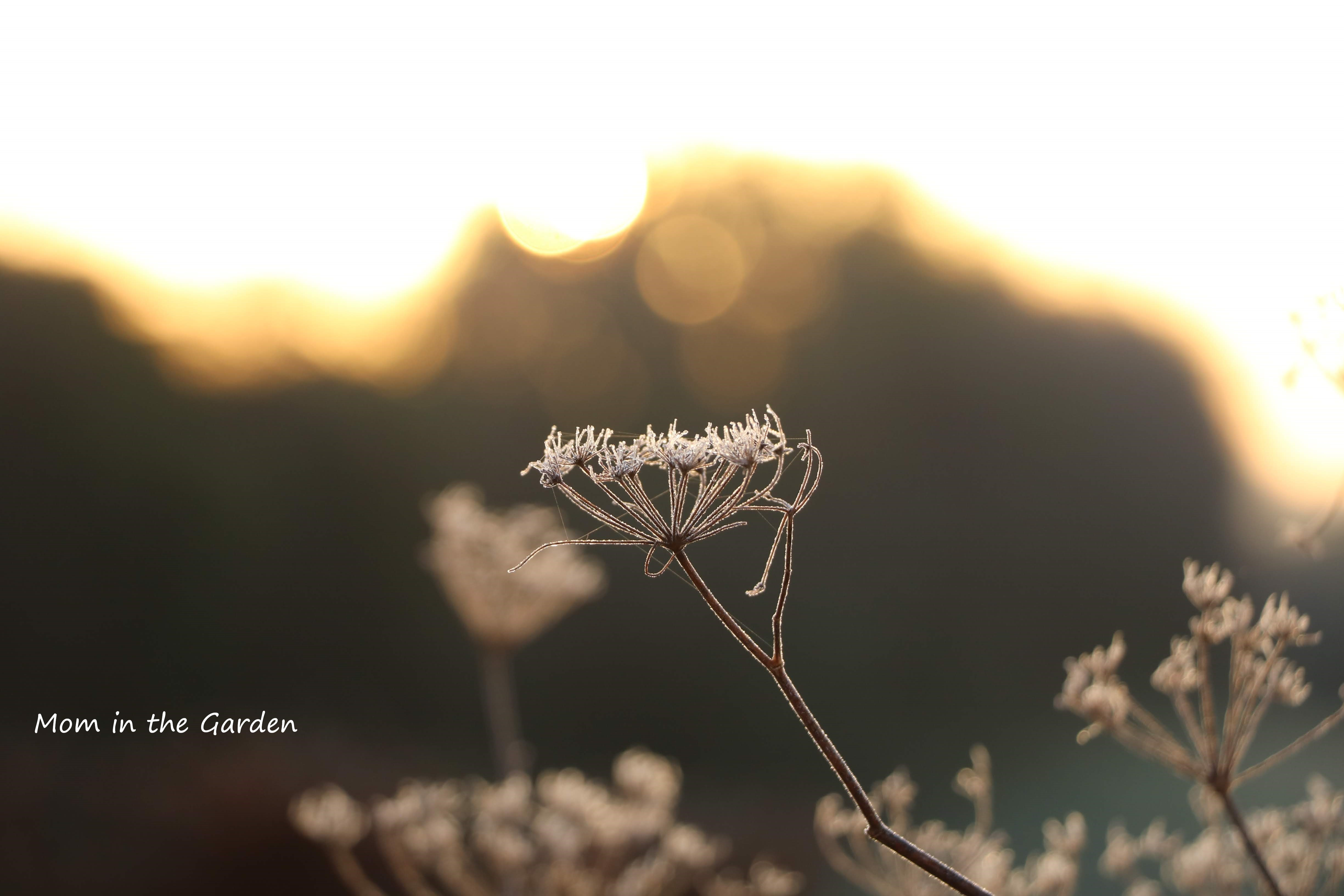wild fennel in February morning sunlight