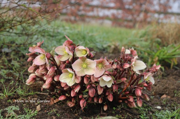 Winter sunshine hellebore