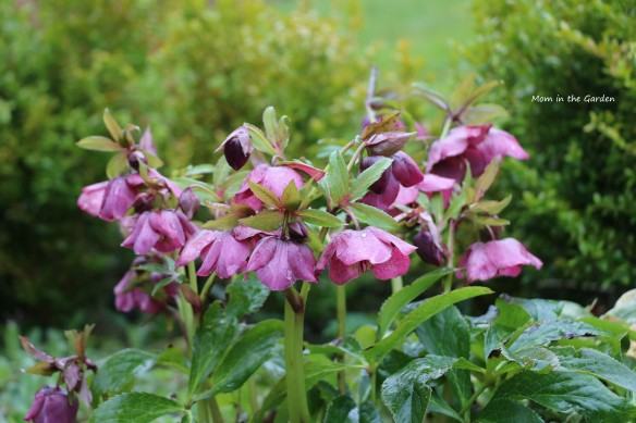 Dark pink hellebore in rain