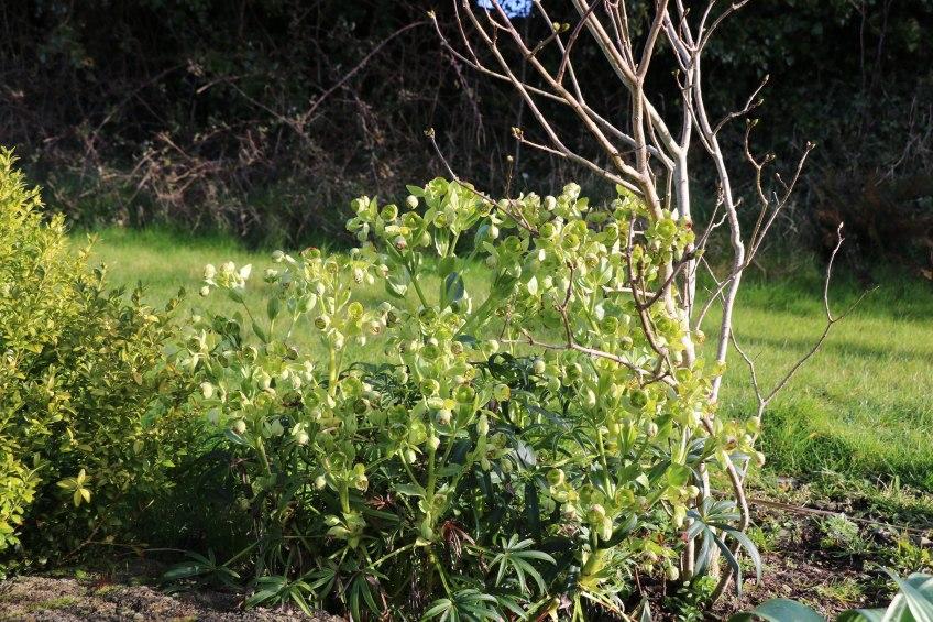 helleborus foetidus or the stinking hellebore