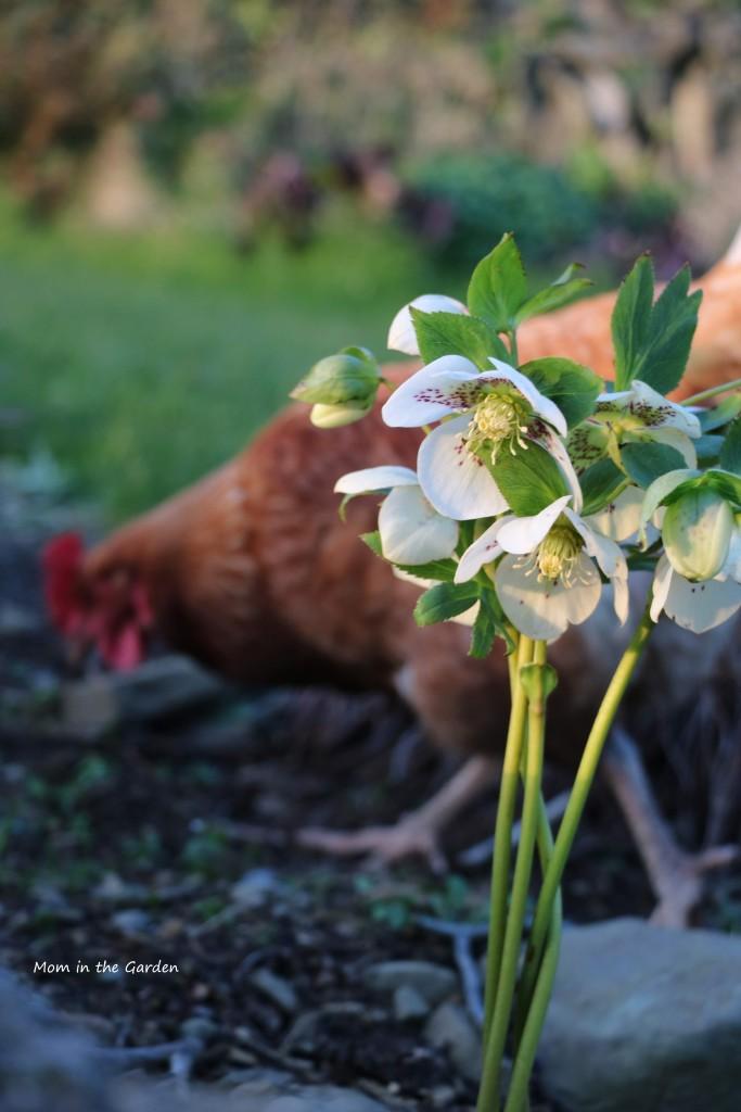 White speckled hellebore with chicken