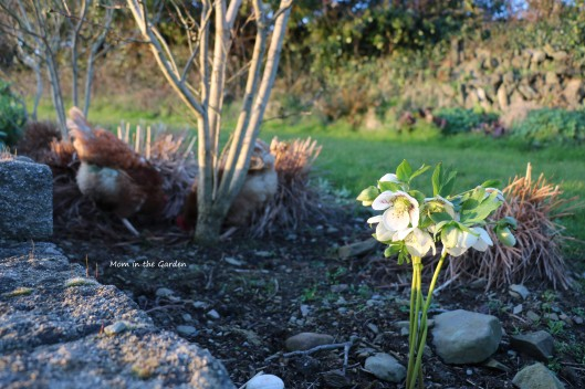 white speckled hellebore with chickens