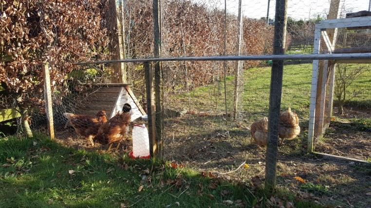 chickens in their run
