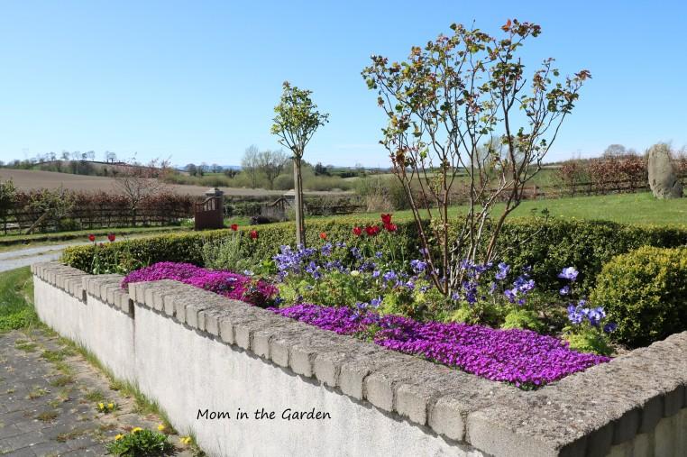 Aubrieta April 11 tulips anemone view of gates