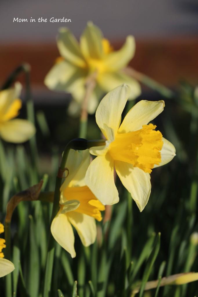 daffodil side profile